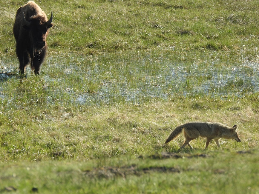 Bison & coyote, Yellowstone National Park
