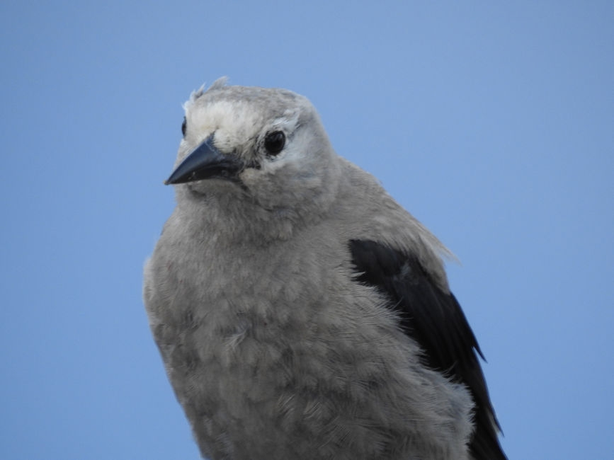 Clark's Nutcracker, Crated Lake, OR