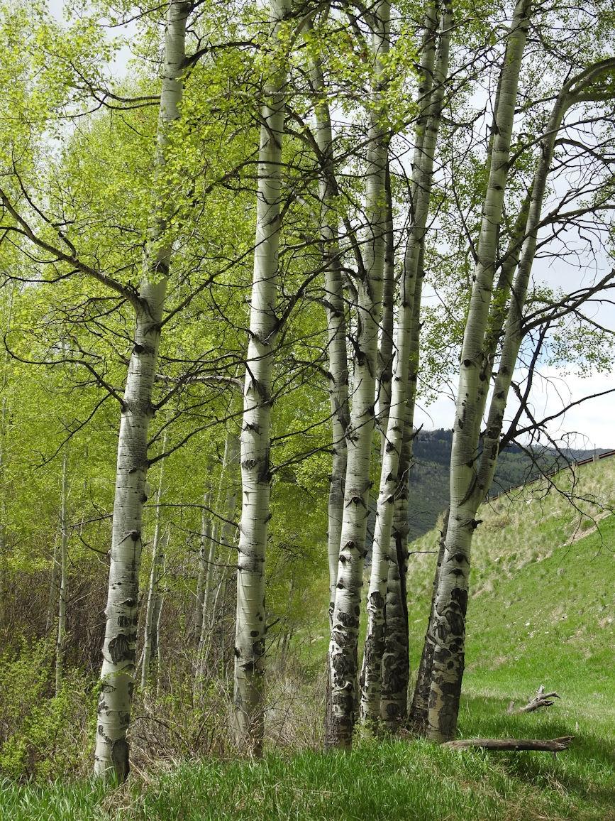 Aspen trees in Colorado springtime