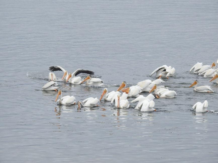 Pelicans in Astoria, OR